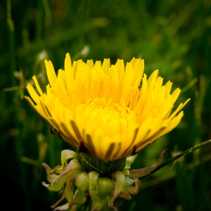 yellow dandelion photograph photography